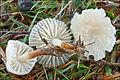 2010-11-22 Marasmius wynneae Berk. & Broome 123209.jpg