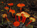 2011-06-17 Hygrocybe cantharellus 69428 cropped.jpg