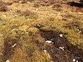 2013-09-16 14 38 39 Marshy spring in the bogs above Island Lake, Nevada.jpg
