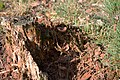 20131026 033 Lomm Ravenvennen Waterwandeling Paddestoel (12380759604).jpg
