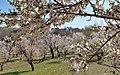 2013 Spring blossoms of Shahr-e Kord 05.jpg