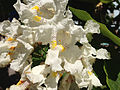 2014-06-12 10 46 09 Catalpa speciosa flowers in Winnemucca, Nevada.JPG