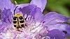 2014.06.15.-03-Eilenburg Ost--Pinselkaefer-Trichius gallicus.jpg