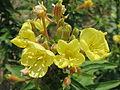 20140725Oenothera biennis1.jpg