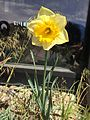 2015-03-16 12 27 43 Daffodil on Idaho Street (Interstate 80 Business) in Elko, Nevada.JPG