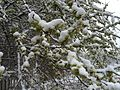 2015-04-08 07 34 46 A wet spring snow on Siberian Elm immature seeds along South 7th Street in Elko, Nevada.jpg