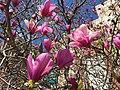 2015-04-11 13 28 30 Ann Magnolia blossoms on New Dominion Parkway in Reston, Virginia.jpg