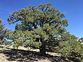 2015-04-27 13 30 48 An older Single-leaf Pinyon on the north wall of Maverick Canyon, Nevada.jpg