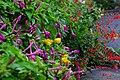 2015-09-06 Mirabilis jalapa&Salvia splendens オシロイバナとサルビア DSCF3034.JPG