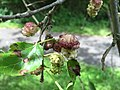 2017-05-29 15 40 54 White Mulberry fruit along a walking trail in the Franklin Glen section of Chantilly, Fairfax County, Virginia.jpg