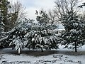 2017-12-10 08 31 16 Snow-covered White Pine saplings along a walking path on the morning after a wet snowfall in the Franklin Farm section of Oak Hill, Fairfax County, Virginia.jpg