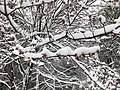 2018-03-21 12 49 48 Snow-covered Red Maple branches and flowers along a walking path in the Franklin Farm section of Oak Hill, Fairfax County, Virginia.jpg