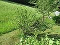 2018-05-13 (248) Ribes × nidigrolaria (Jostaberry) at Bichlhäusl in Frankenfels, Austria.jpg