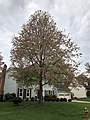 2019-04-25 10 19 59 A Red Maple heavily laden with mature seeds along White Barn Lane in the Franklin Farm section of Oak Hill, Fairfax County, Virginia.jpg