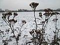 20190103Achillea millefolium2.jpg
