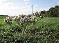 20191013Achillea millefolium2.jpg