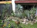 20 bis 35 Jahre alte Exemplare der Gattung Yucca in der Sammlung von Fritz Hochstätter in Mannheim, Juli 2009 Y. rostrata, Y.baccata subsp. vespertina. Y. glauca etc. Feld 1 A.jpg