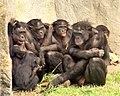 6 bonobos WHCalvin IMG 1341.jpg