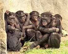 Six apes huddled together