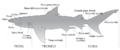 800px-Anatomia dello squalo.png