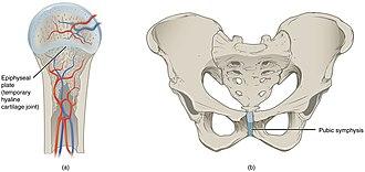 Cartilaginous joint - Cartilaginous joints