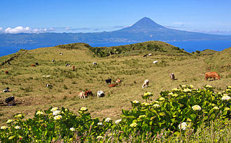 São Jorge cheese - Dairy cattle in the high-altitude central plateau of São Jorge used in dairy production