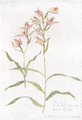 AE Cephalanthera rubra.png