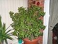 A 40 year old jade plant (Crassula ovata).jpg