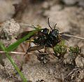 A Digger Wasp (Mellinus arvensis) dragging fly back to nest - Flickr - S. Rae (2).jpg