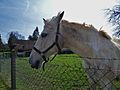 A Horse in Doudelainville,Somme,France.jpg