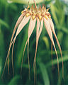 A and B Larsen orchids - Bulbophyllum Louis Sander 683-2z.jpg
