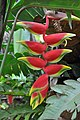 A fresh and healthy bunch of Heliconia (11968101816).jpg