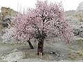 A humongous Apricot Tree in Hunza Valley.jpg