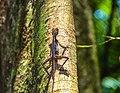 A lizard in Sinharaja Forest Reserve.jpg