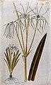A plant (Hymenocallis littoralis Salisb.) related to Peruvia Wellcome V0042958.jpg