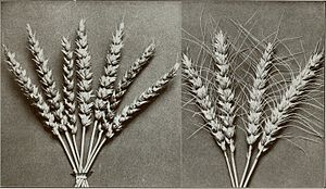 Marquis wheat - 'Marquis' wheat (left) compared to 'Preston' (right)