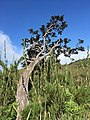 A tree shaped by the wind at Horton Plains National Park.jpg