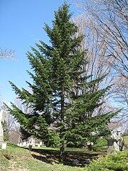Abies alba, Mount Auburn Cemetery.JPG