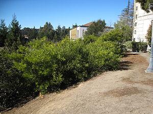 Acacia longifolia - Image: Acacia longifolia bushy habit