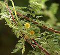 Acacia constricta branch.jpg