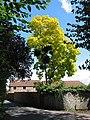 Acacia tree with parasitic mistletoe, Church Road - geograph.org.uk - 518555.jpg