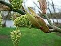 Acer macrophyllum 01405.JPG