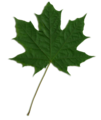 Acer scanned leaf.png