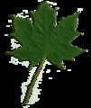 Acer scanned leaf.png