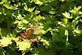 Acer shirasawanum 'Aureum' JPG1b.jpg
