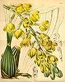 Acineta barkeri (as Peristeria barkeri) - Curtis' 72 (Ser. 3 no. 2) pl. 4203 (1846).jpg