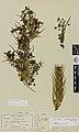Aciphylla aurea W.R.B.Oliv. (AM AK6395).jpg