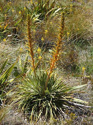 Mount Hikurangi (Gisborne District) - Aciphylla colensoi, one of the species of alpine plants found on Mount Hikurangi