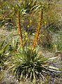 Aciphylla colensoi.jpg