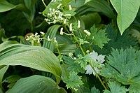 A. ranunculoides ssp. gigas